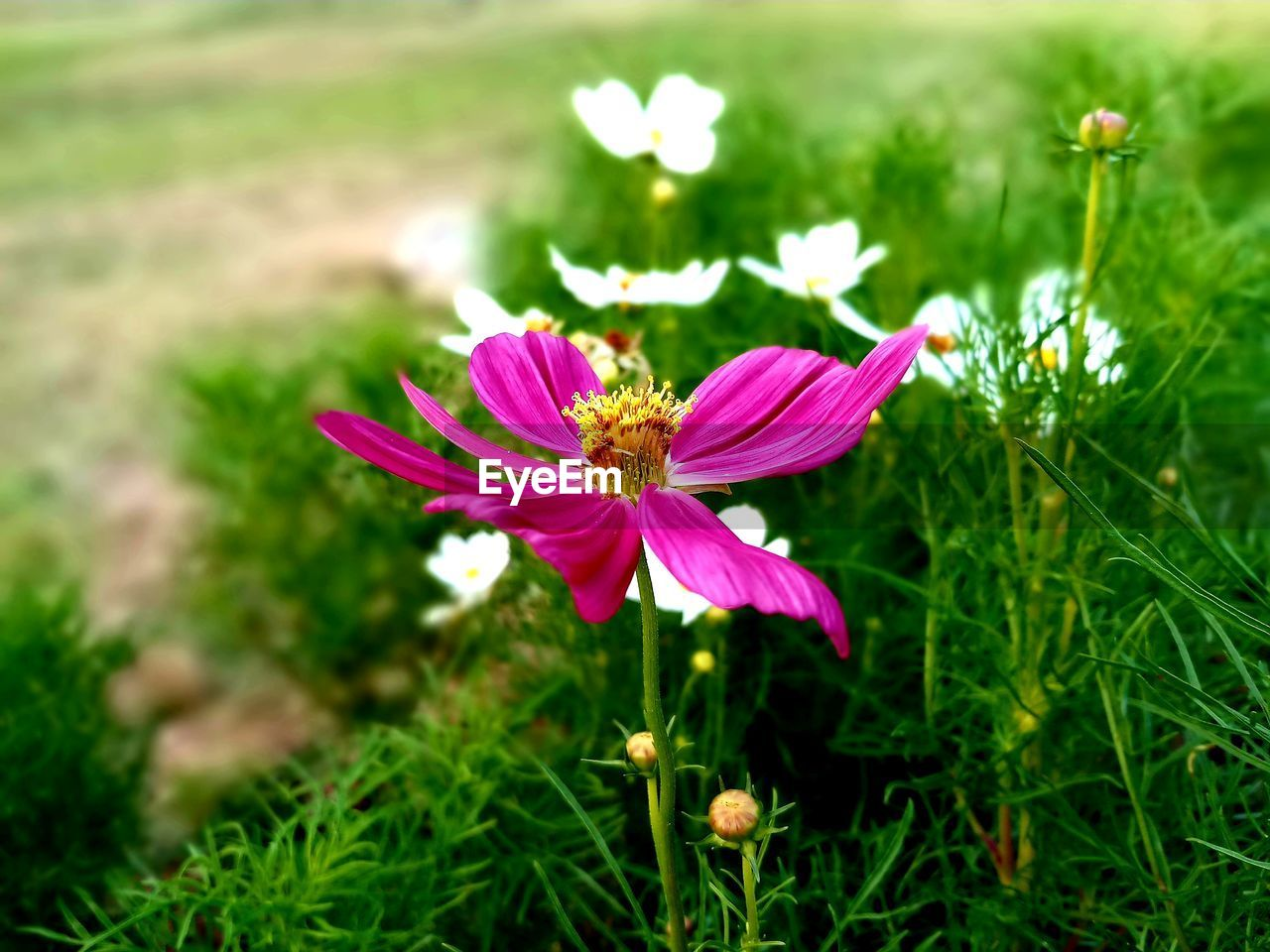 flower, growth, petal, nature, fragility, flower head, beauty in nature, plant, freshness, field, blooming, no people, grass, outdoors, day, close-up