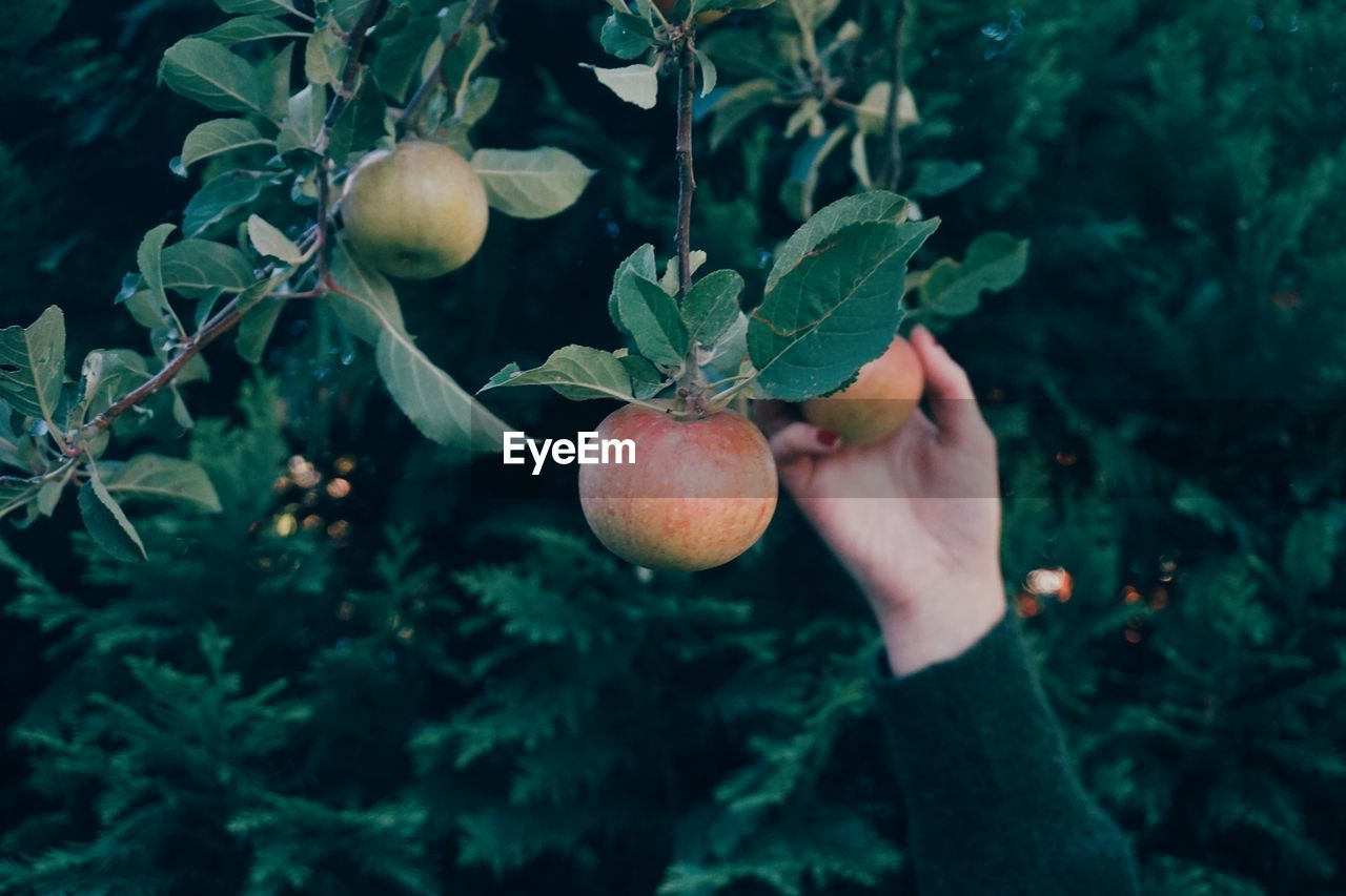 Cropped Hand Of Woman Picking Apples Growing On Tree