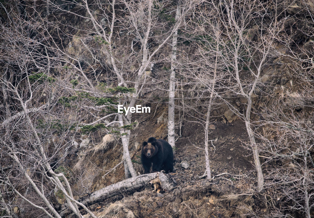 mammal, one animal, animal wildlife, animals in the wild, tree, forest, no people, land, vertebrate, nature, plant, day, outdoors, standing, bear, woodland