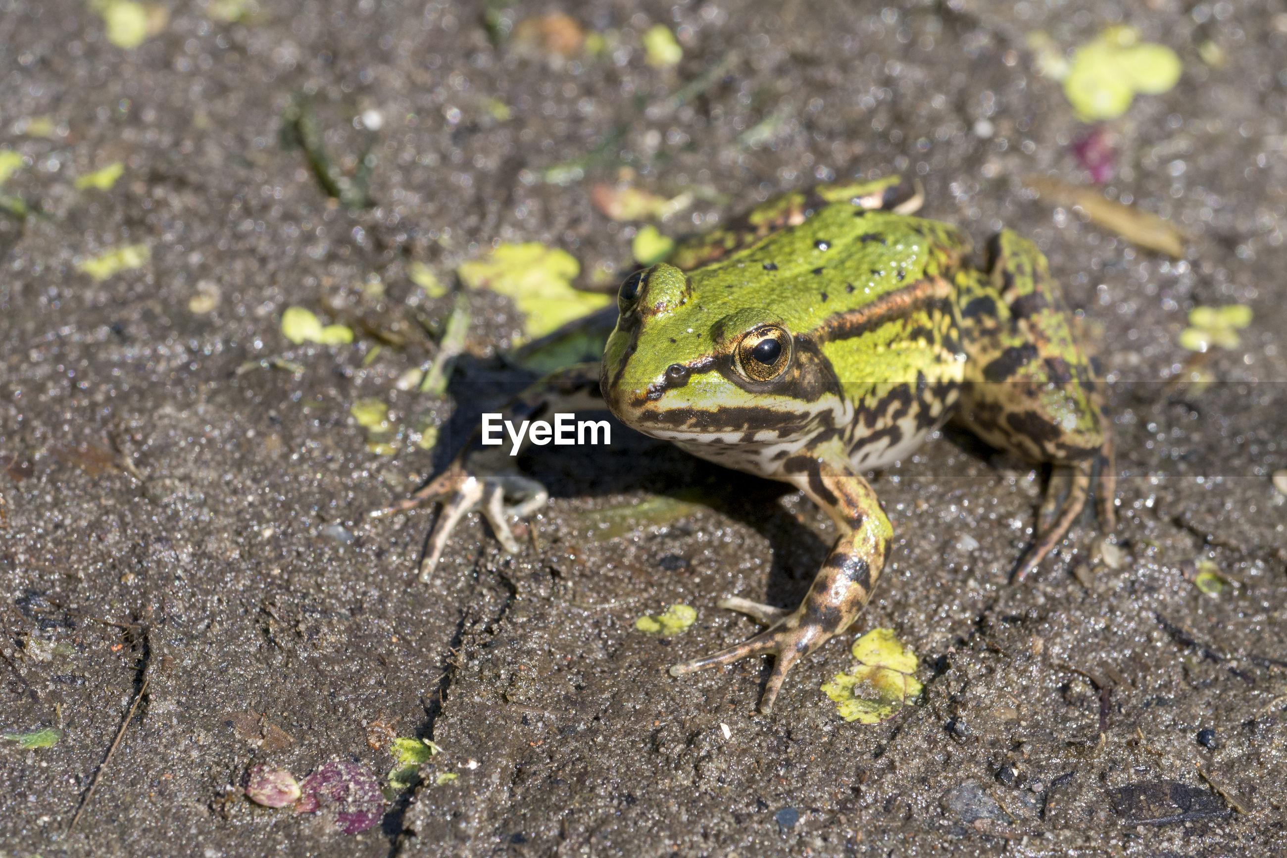 Close-up of frog on field
