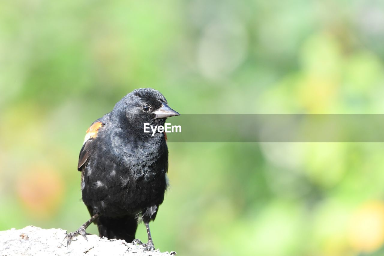 bird, animal themes, animal, animals in the wild, one animal, vertebrate, animal wildlife, focus on foreground, perching, black color, day, close-up, no people, nature, green color, outdoors, looking away, beak, looking, blackbird