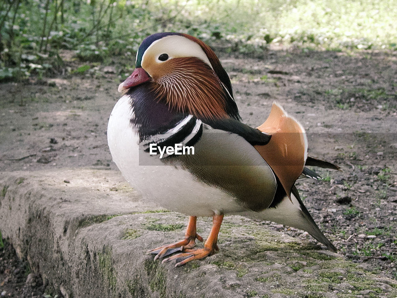 animal wildlife, animal themes, animals in the wild, bird, animal, one animal, vertebrate, mandarin duck, duck, day, poultry, no people, nature, close-up, field, land, focus on foreground, multi colored, outdoors, beauty in nature
