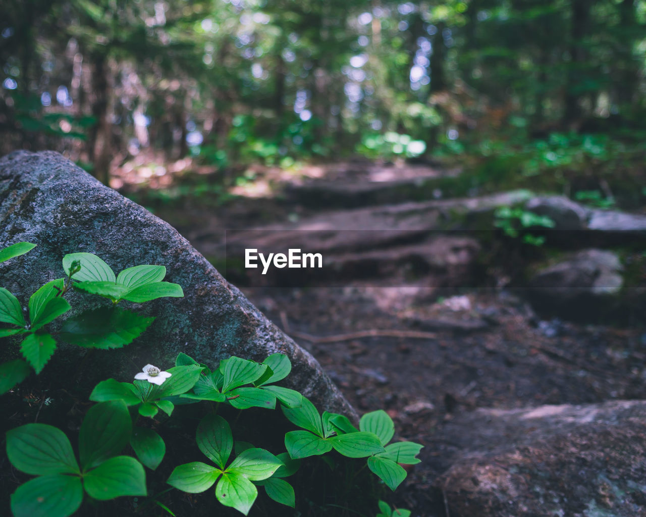 plant, growth, nature, plant part, leaf, green color, land, forest, day, tree, no people, tree trunk, focus on foreground, trunk, close-up, outdoors, tranquility, beauty in nature, rock, selective focus