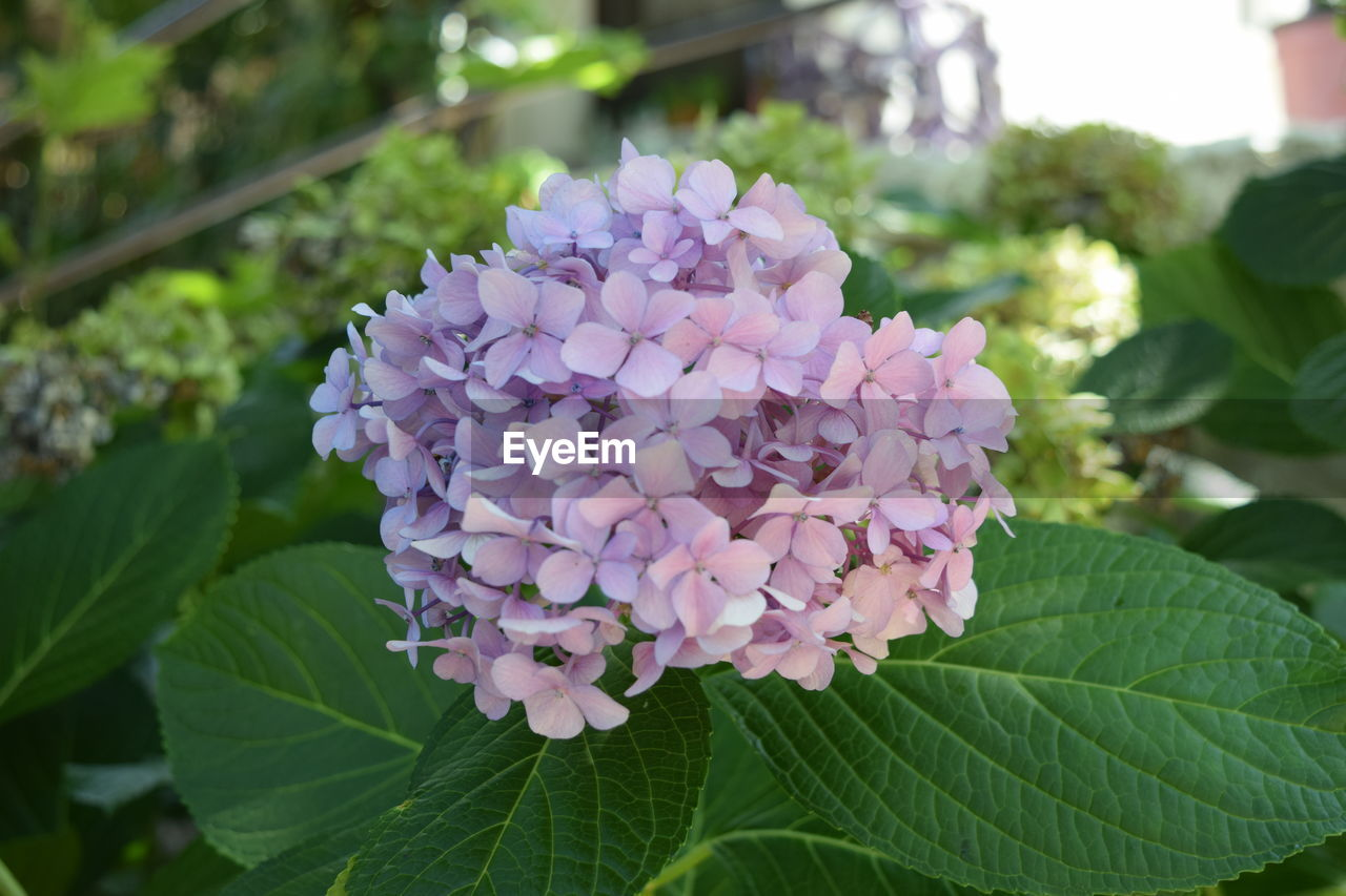 leaf, growth, flower, petal, beauty in nature, nature, freshness, plant, fragility, blooming, focus on foreground, day, green color, no people, flower head, close-up, outdoors, hydrangea
