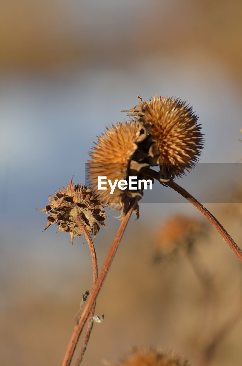 animals in the wild, insect, nature, one animal, animal themes, flower, outdoors, day, no people, plant, focus on foreground, animal wildlife, close-up, bee, beauty in nature, growth, thistle, pollination, fragility, flower head