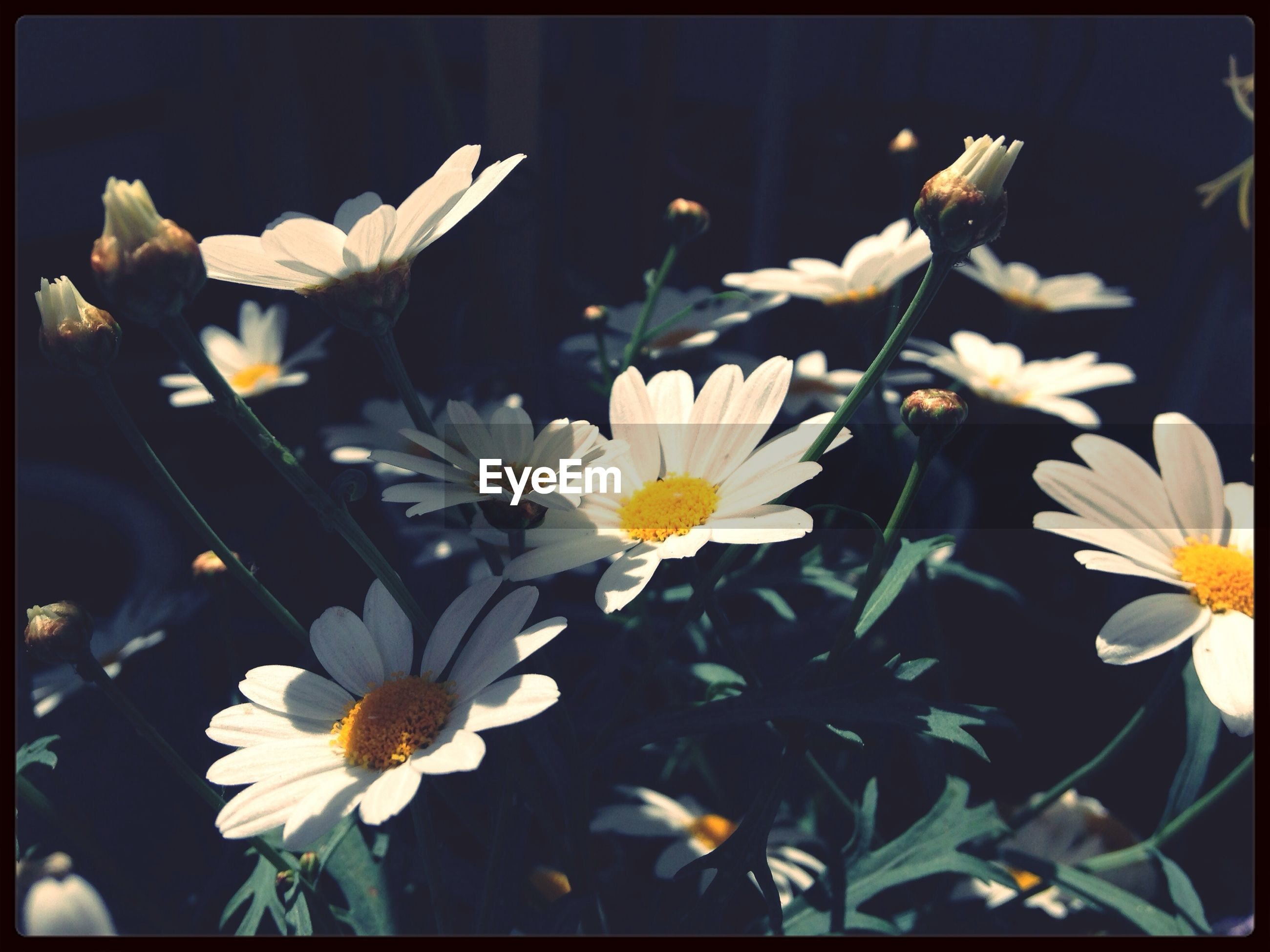 flower, petal, transfer print, freshness, fragility, white color, flower head, auto post production filter, growth, beauty in nature, blooming, nature, close-up, daisy, pollen, focus on foreground, plant, in bloom, white, blossom