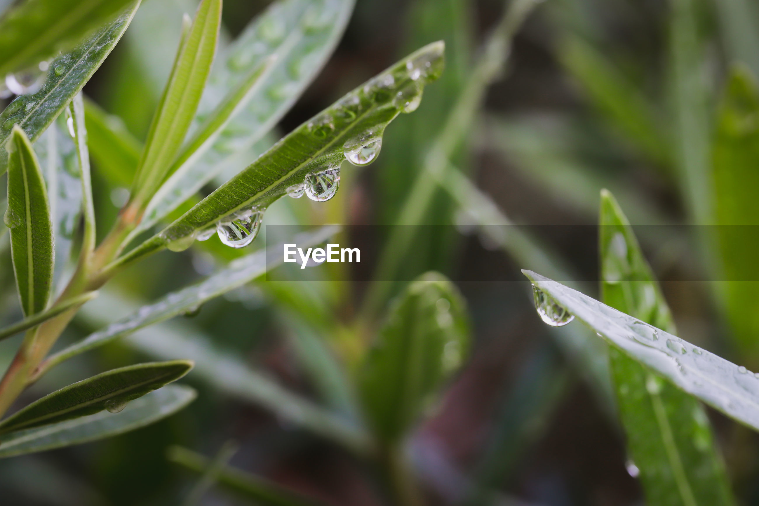 Dew after rain on the leaves in the morning