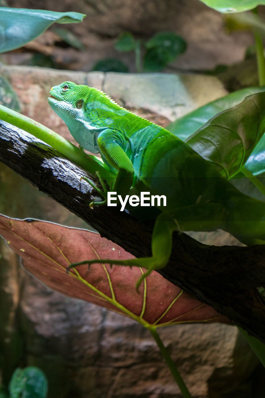 green color, leaf, plant part, plant, animal themes, animal wildlife, animals in the wild, animal, one animal, nature, vertebrate, close-up, reptile, day, no people, focus on foreground, growth, lizard, outdoors, tree, leaves