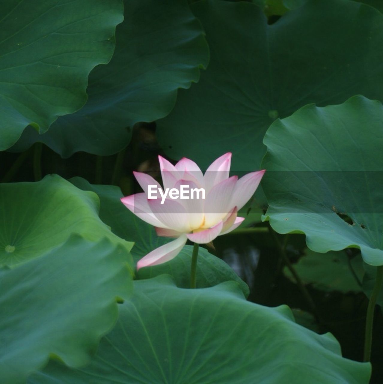 leaf, flower, beauty in nature, petal, lotus water lily, growth, nature, water lily, lotus, green color, fragility, flower head, freshness, plant, pink color, no people, blooming, outdoors, floating on water, close-up, day, lily pad