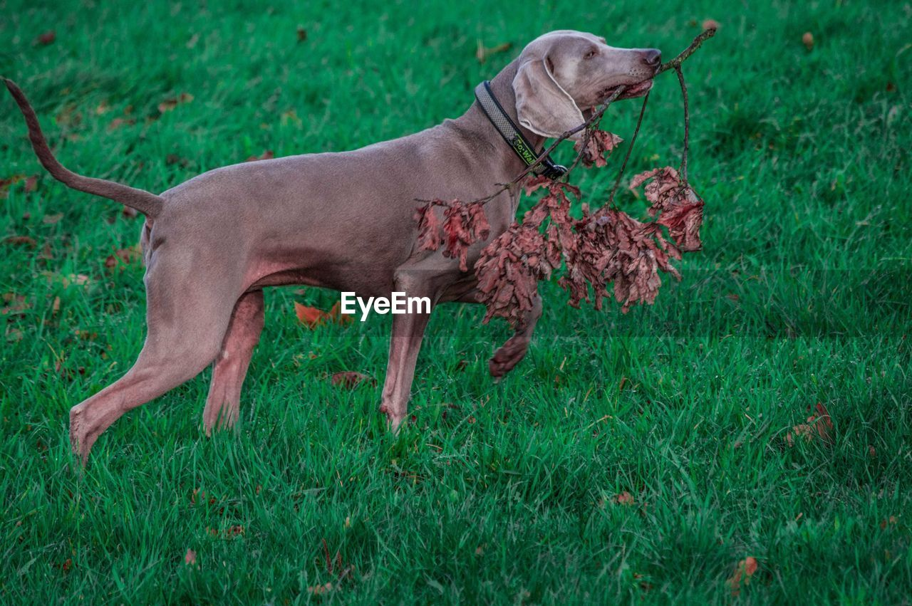 SIDE VIEW OF DOG ON GRASS