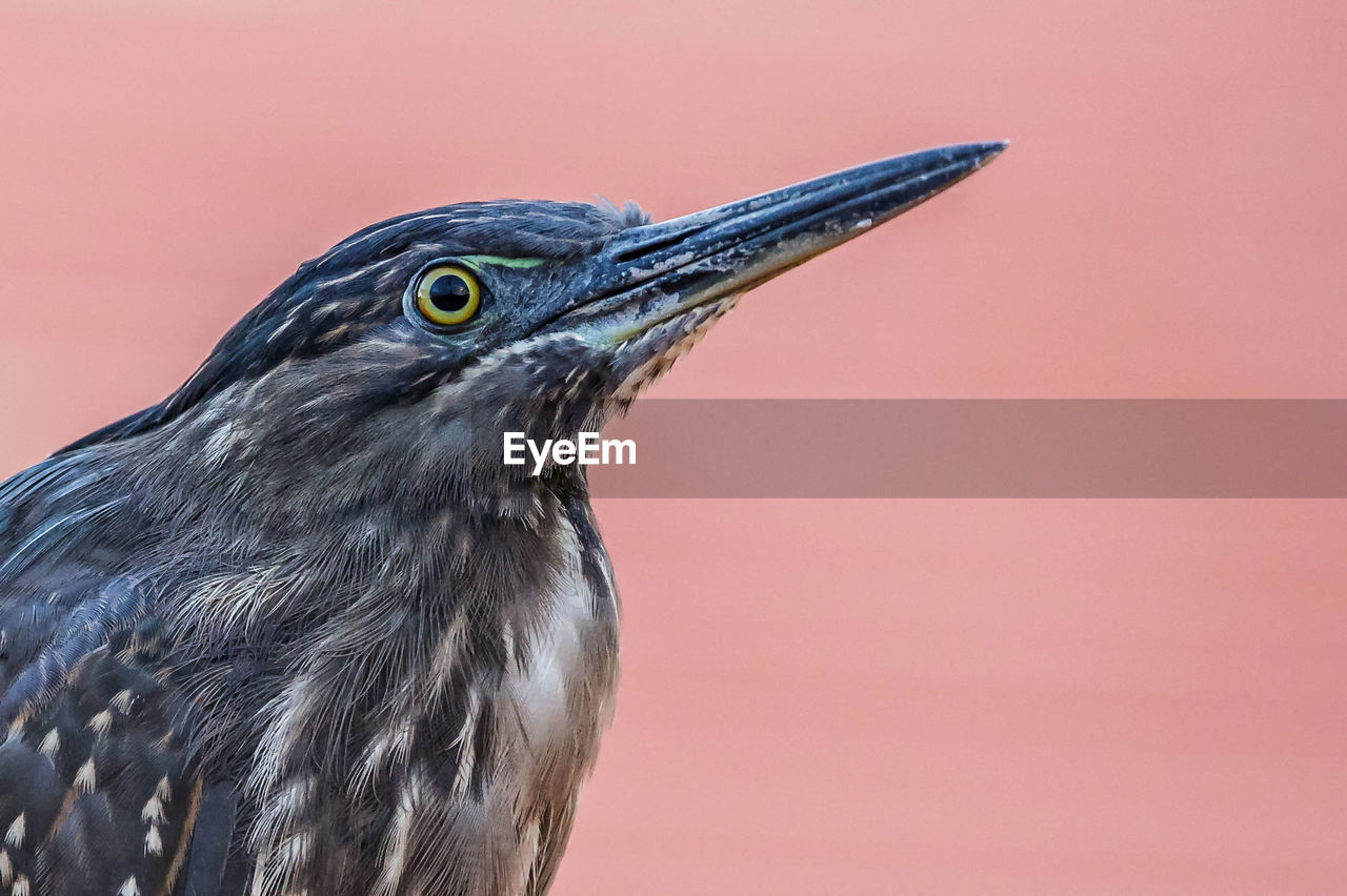 animal themes, animal, one animal, bird, vertebrate, animal wildlife, animals in the wild, close-up, no people, focus on foreground, day, beak, outdoors, nature, side view, looking away, animal body part, looking, copy space, colored background, profile view, animal eye