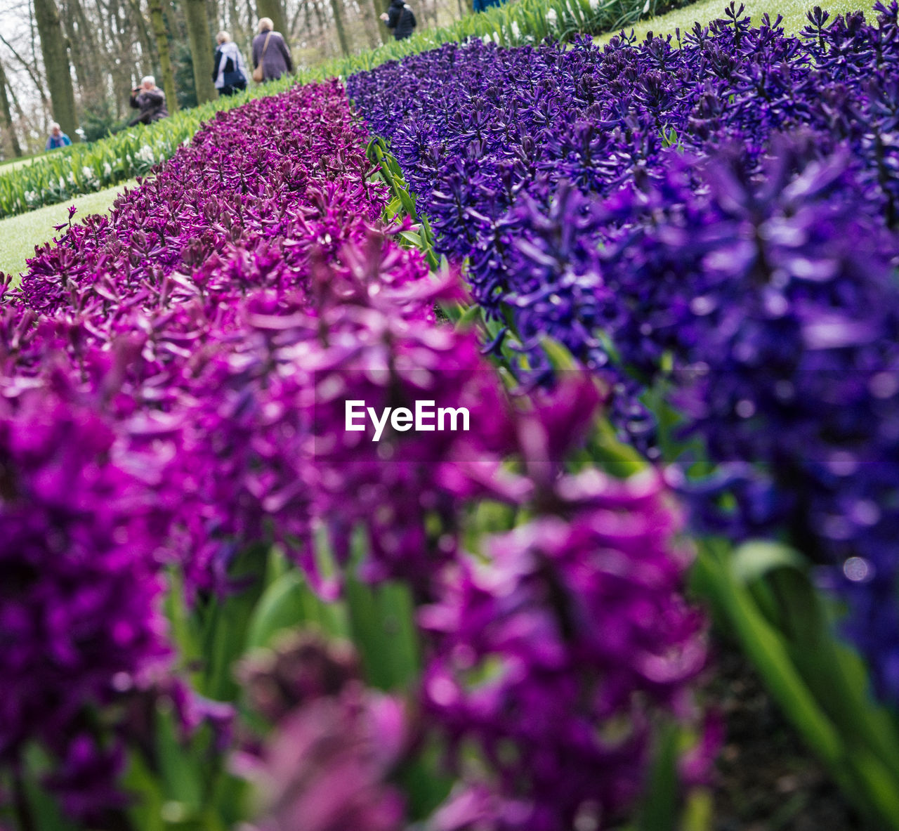 purple, flower, growth, lavender, beauty in nature, nature, selective focus, fragility, plant, freshness, day, outdoors, no people, blooming, close-up, crocus, flower head