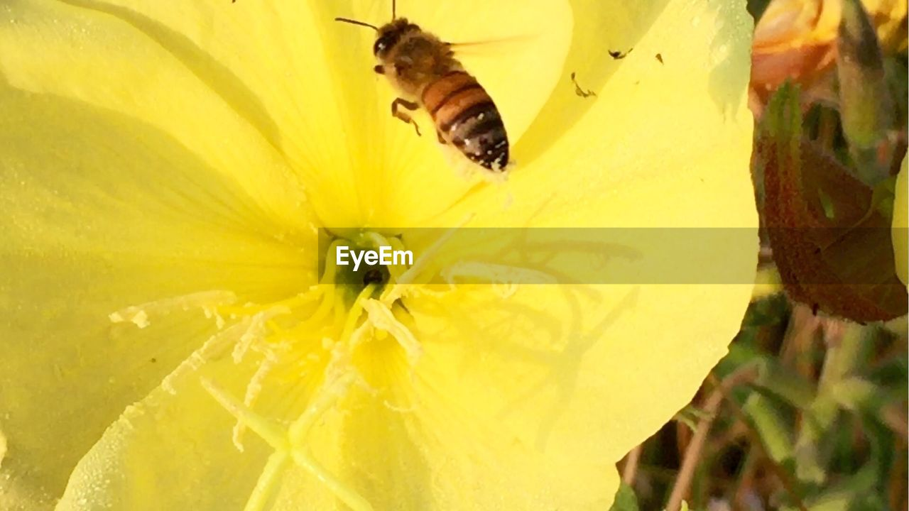 insect, animal themes, yellow, flower, petal, animals in the wild, one animal, nature, bee, freshness, day, outdoors, growth, close-up, fragility, plant, no people, flower head, animal wildlife, beauty in nature, buzzing
