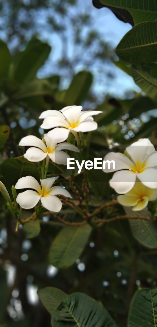 flowering plant, flower, plant, growth, white color, beauty in nature, fragility, vulnerability, freshness, petal, close-up, flower head, nature, leaf, no people, plant part, inflorescence, focus on foreground, day, frangipani