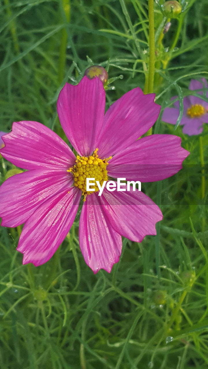 flower, petal, nature, growth, beauty in nature, fragility, blooming, freshness, field, flower head, yellow, no people, plant, outdoors, grass, cosmos flower, close-up, day