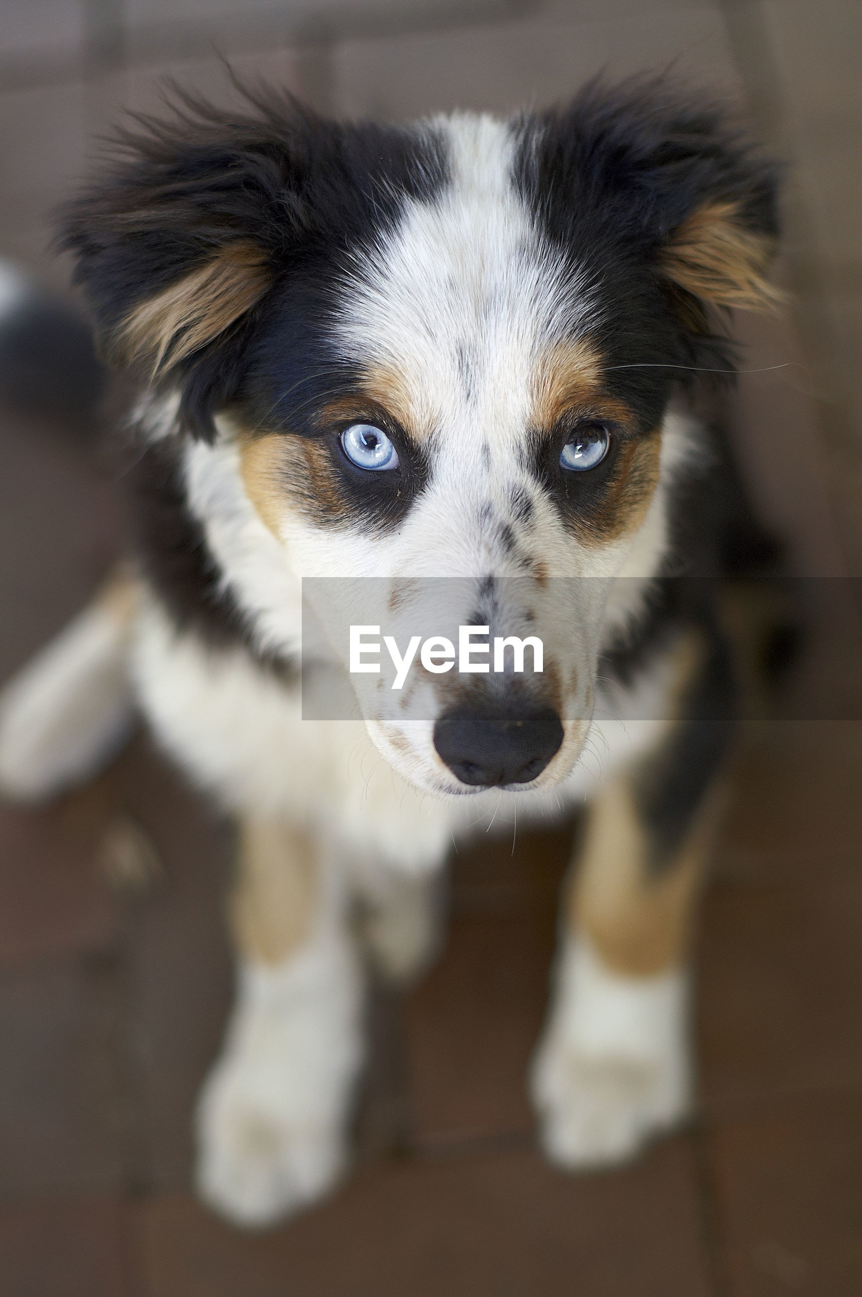 Close-up portrait of a tri-color border collie puppy dog, looking up at the camera with blue eyes.