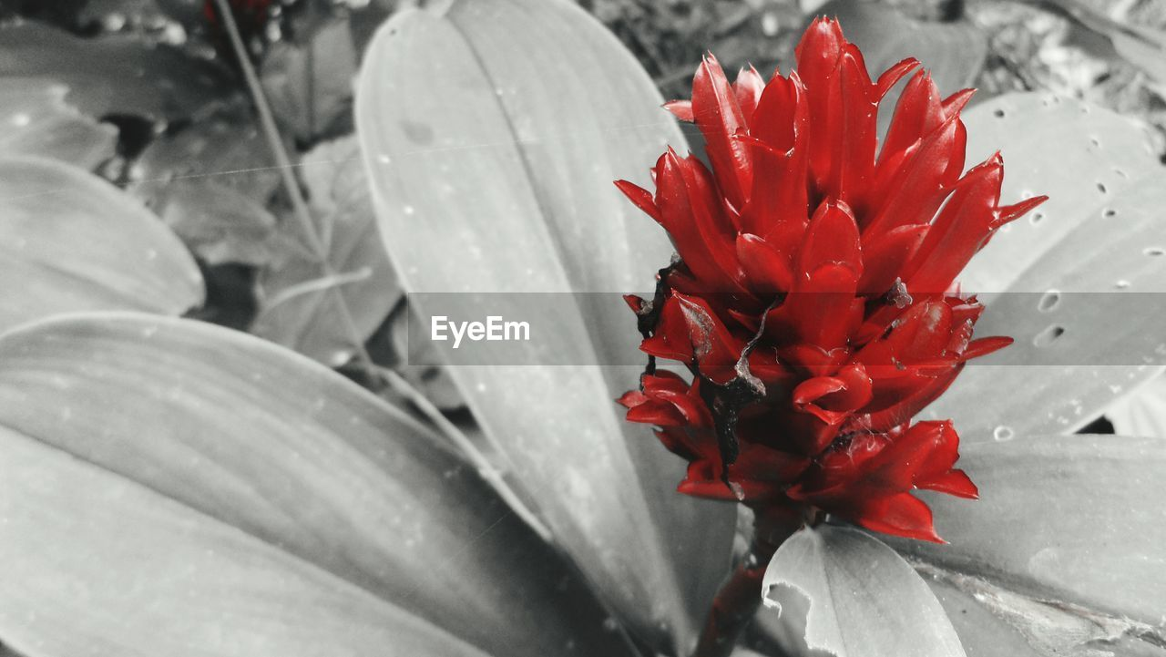 red, flower, petal, fragility, growth, nature, beauty in nature, close-up, plant, flower head, no people, freshness, day, outdoors, springtime, water, blooming