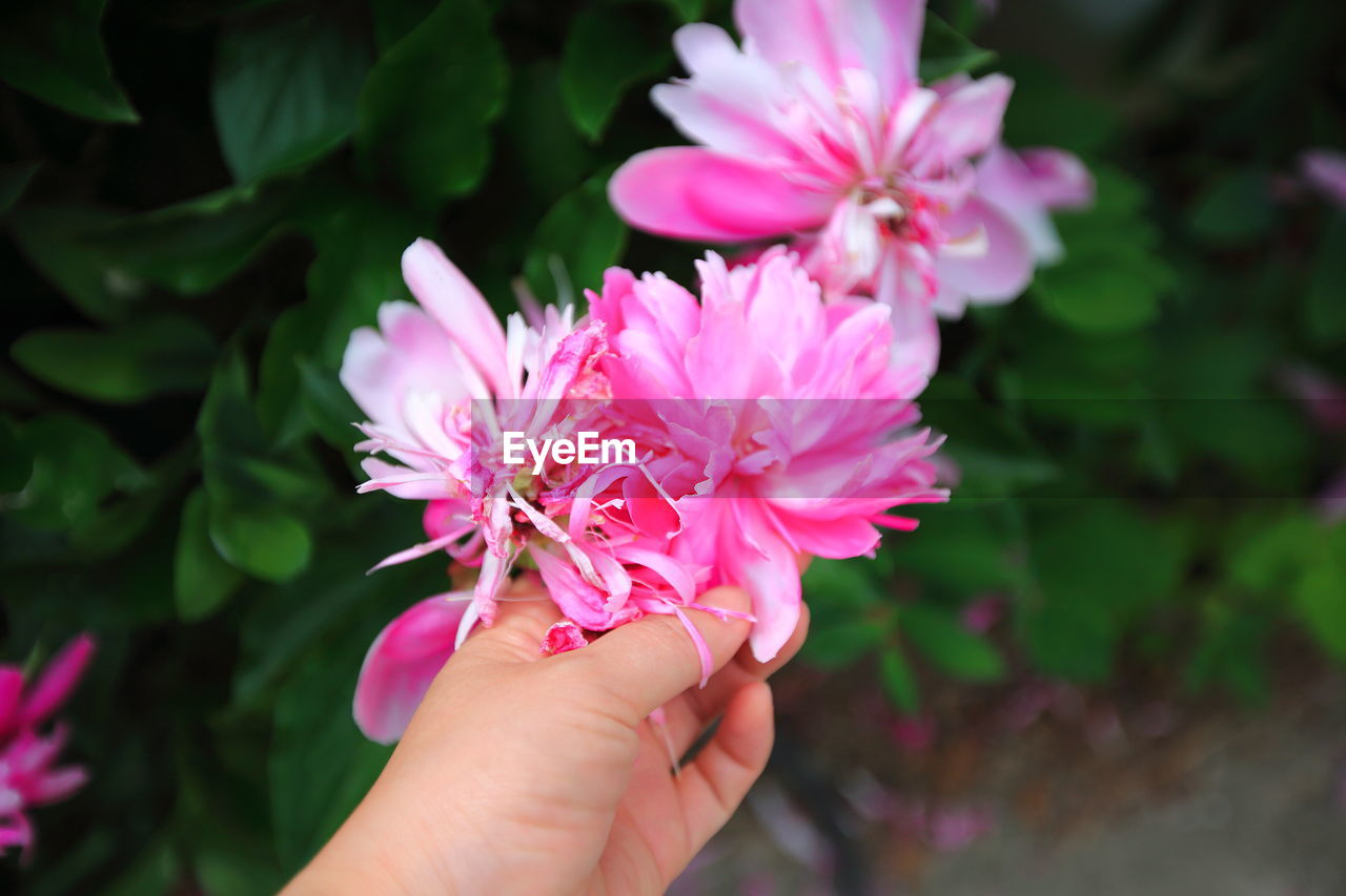 Cropped hand holding pink flowers blooming in park