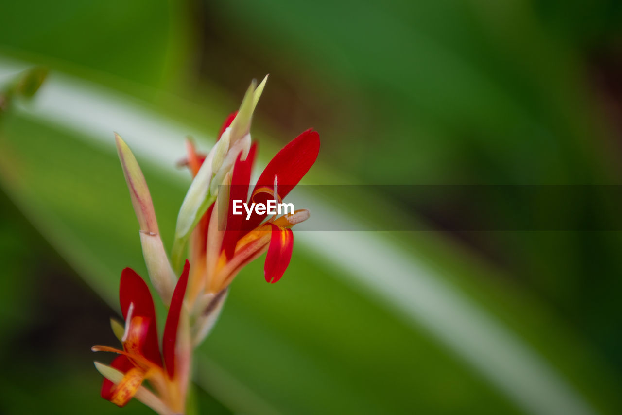 plant, flowering plant, flower, growth, vulnerability, fragility, beauty in nature, freshness, close-up, petal, inflorescence, red, flower head, nature, no people, day, botany, focus on foreground, plant part, selective focus, outdoors