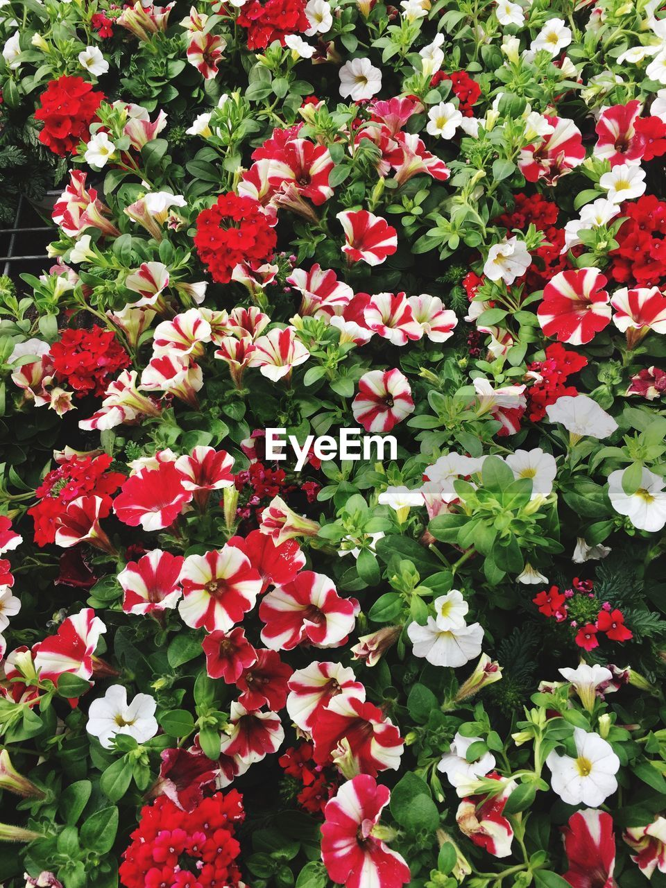 flowering plant, flower, plant, beauty in nature, freshness, vulnerability, fragility, growth, petal, nature, red, inflorescence, flower head, day, full frame, pink color, close-up, no people, high angle view, backgrounds, outdoors, flowerbed