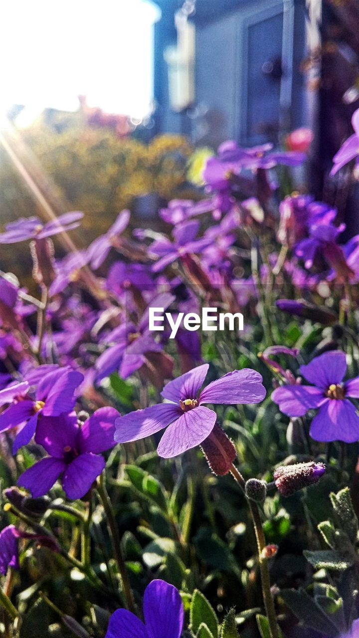 flower, purple, nature, fragility, beauty in nature, growth, day, outdoors, petal, no people, plant, focus on foreground, freshness, close-up, blooming, flower head