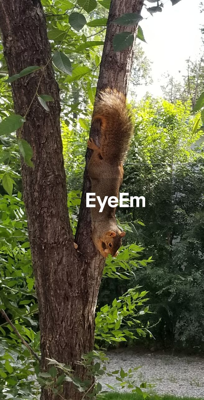tree, tree trunk, one animal, animal themes, animals in the wild, no people, day, mammal, nature, animal wildlife, hanging, outdoors, branch, growth, koala, close-up