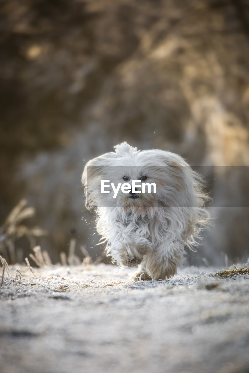 one animal, mammal, animal themes, animal, canine, domestic animals, dog, pets, domestic, vertebrate, selective focus, no people, looking at camera, animal hair, hair, day, white color, portrait, field, land