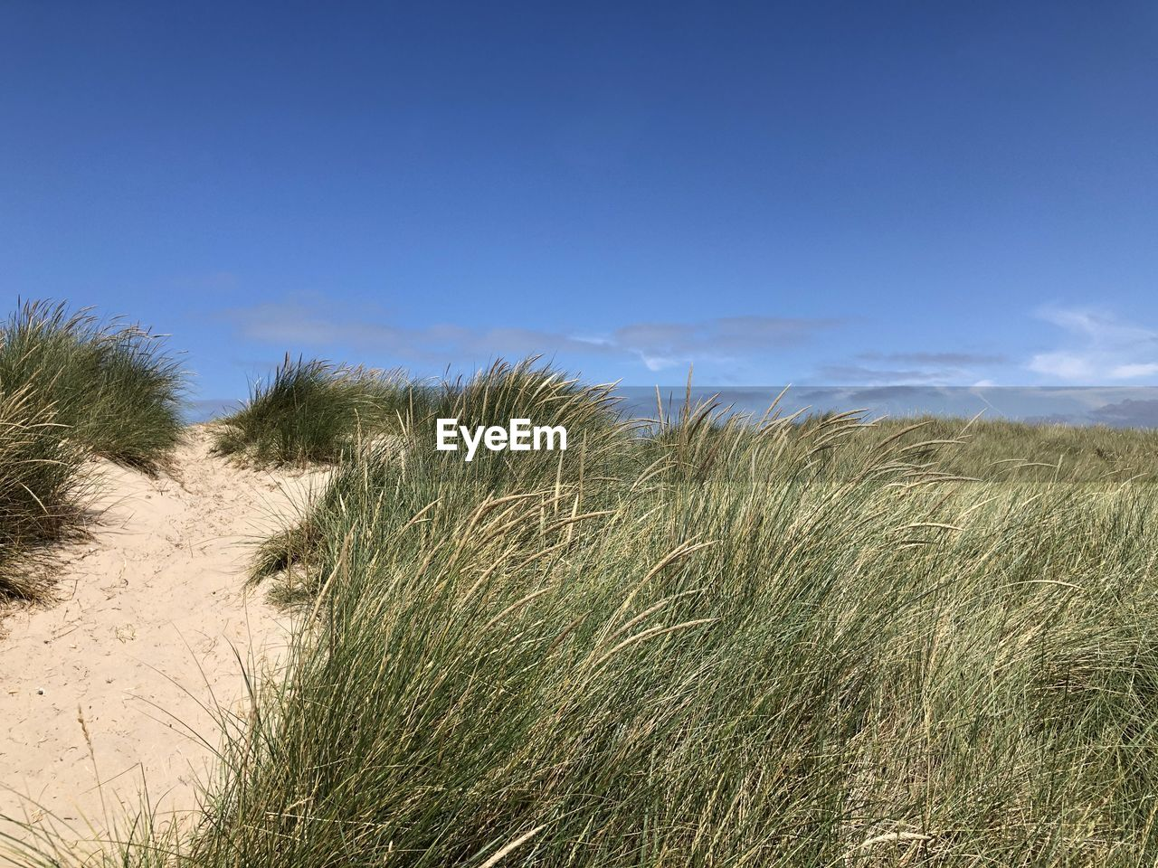 plant, sky, land, grass, tranquility, growth, nature, beauty in nature, tranquil scene, scenics - nature, day, environment, landscape, non-urban scene, sand, no people, field, beach, blue, cloud - sky, outdoors, marram grass, wind, timothy grass