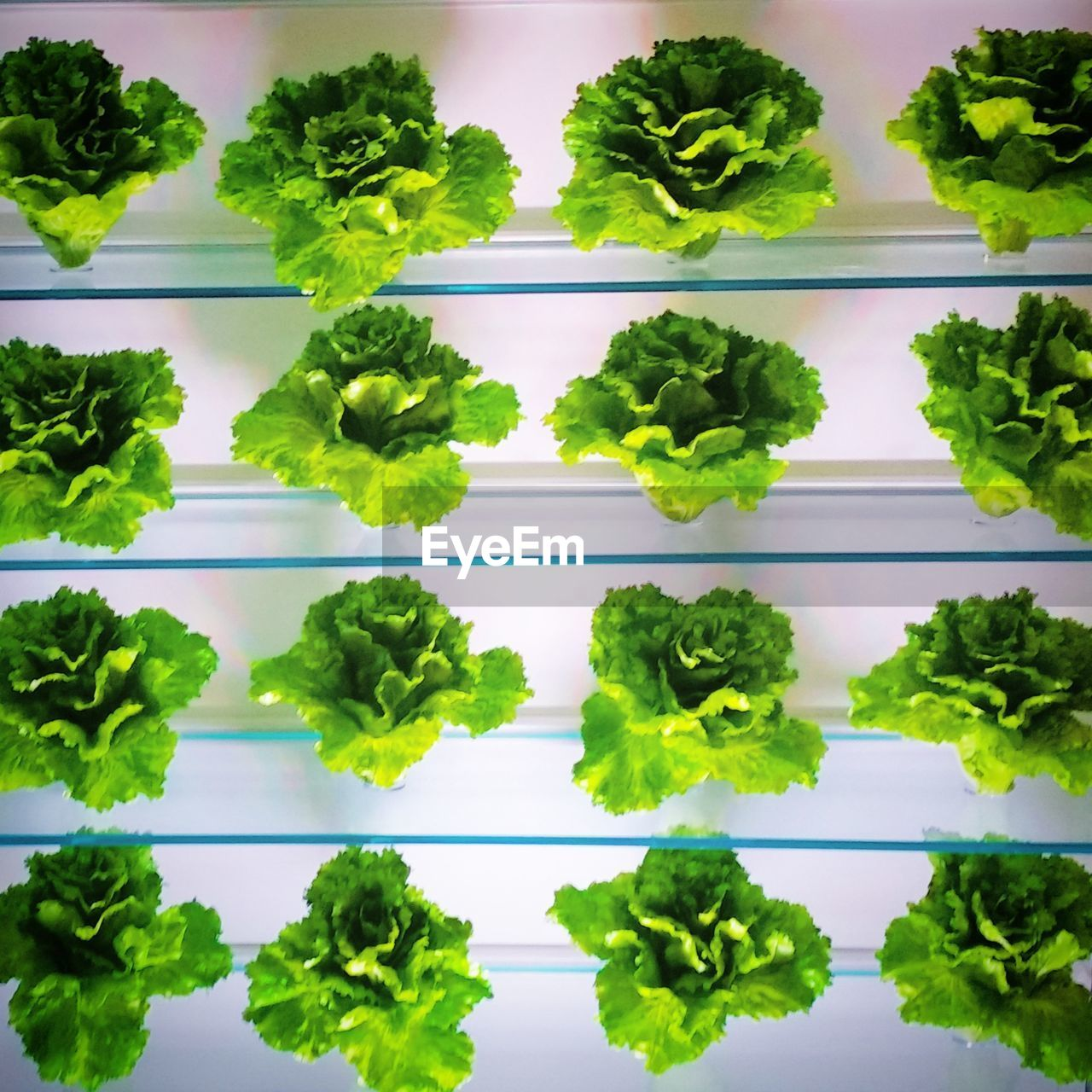 Lettuce On Table