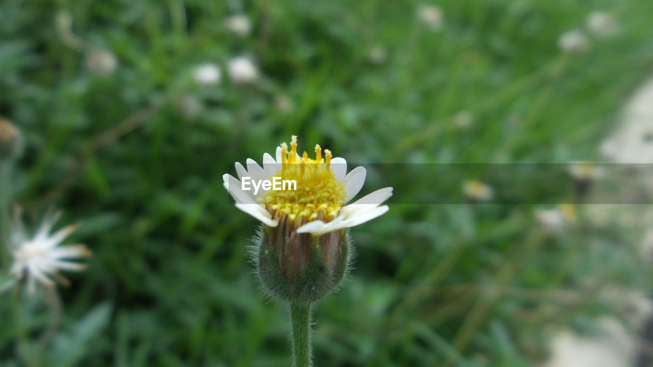 flower, fragility, nature, growth, flower head, beauty in nature, freshness, petal, plant, white color, day, no people, green color, close-up, outdoors, focus on foreground, blooming