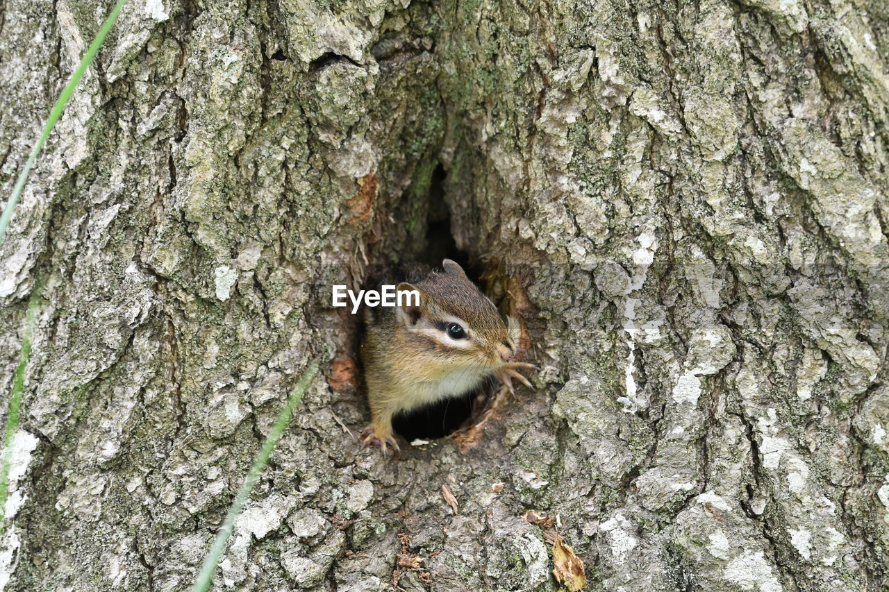 tree trunk, trunk, animal, animal themes, rodent, tree, animal wildlife, animals in the wild, one animal, textured, no people, squirrel, mammal, plant, vertebrate, nature, close-up, day, plant bark, outdoors, bark
