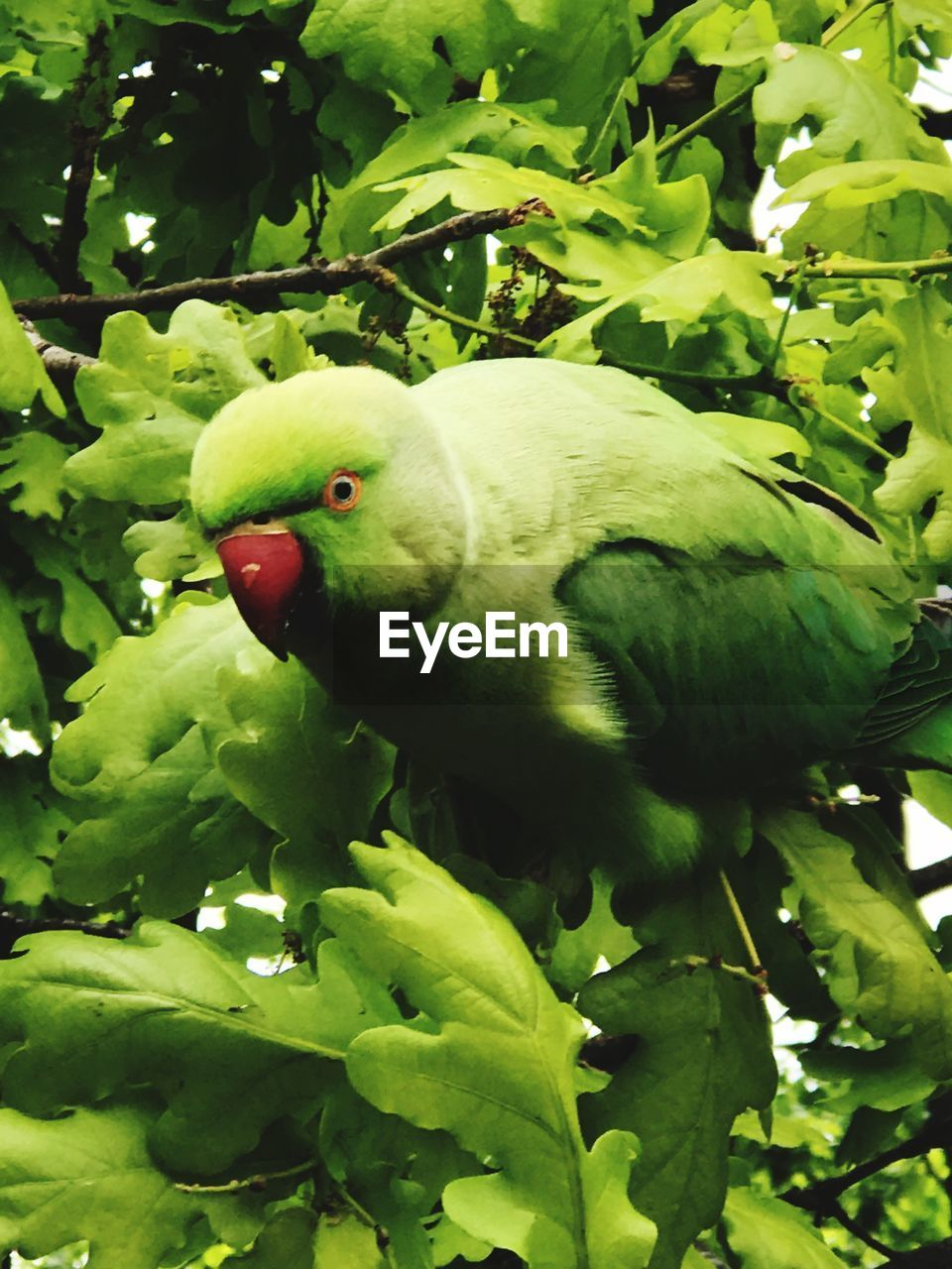 green color, animal themes, animals in the wild, one animal, nature, bird, tree, leaf, no people, outdoors, parrot, fruit, animal wildlife, day, perching, beauty in nature, growth, low angle view, close-up, branch, food