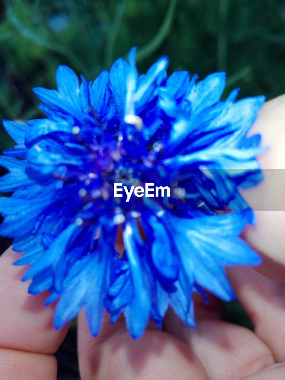 human hand, hand, human body part, blue, real people, flower, one person, close-up, flowering plant, plant, fragility, vulnerability, lifestyles, holding, body part, beauty in nature, freshness, day, unrecognizable person, focus on foreground, purple, flower head, finger, outdoors, human limb