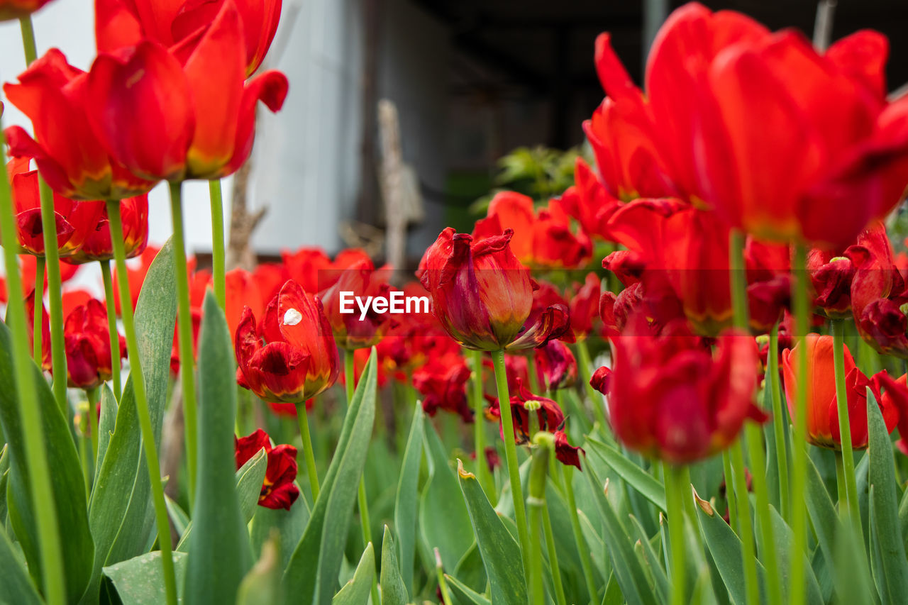 CLOSE-UP OF RED TULIPS ON PLANT