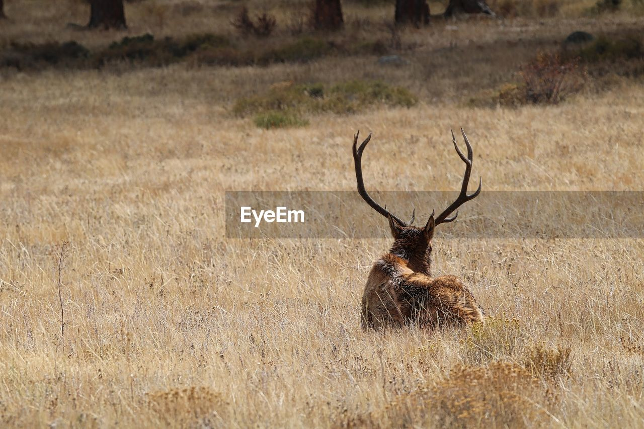 Rear view of stag amidst grass on field at rocky mountain national park