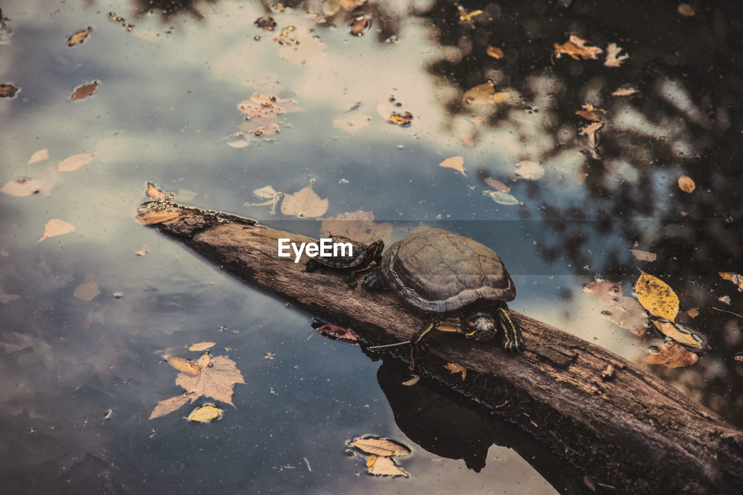 High angle view of turtles on fallen tree over lake