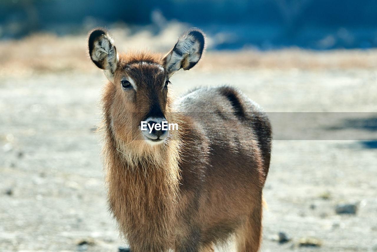 Portrait of a defassa waterbuck standing on land