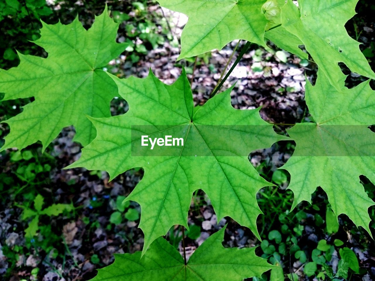 leaf, green color, nature, close-up, day, high angle view, no people, freshness, growth, outdoors, fragility, beauty in nature, water, animal themes, maple