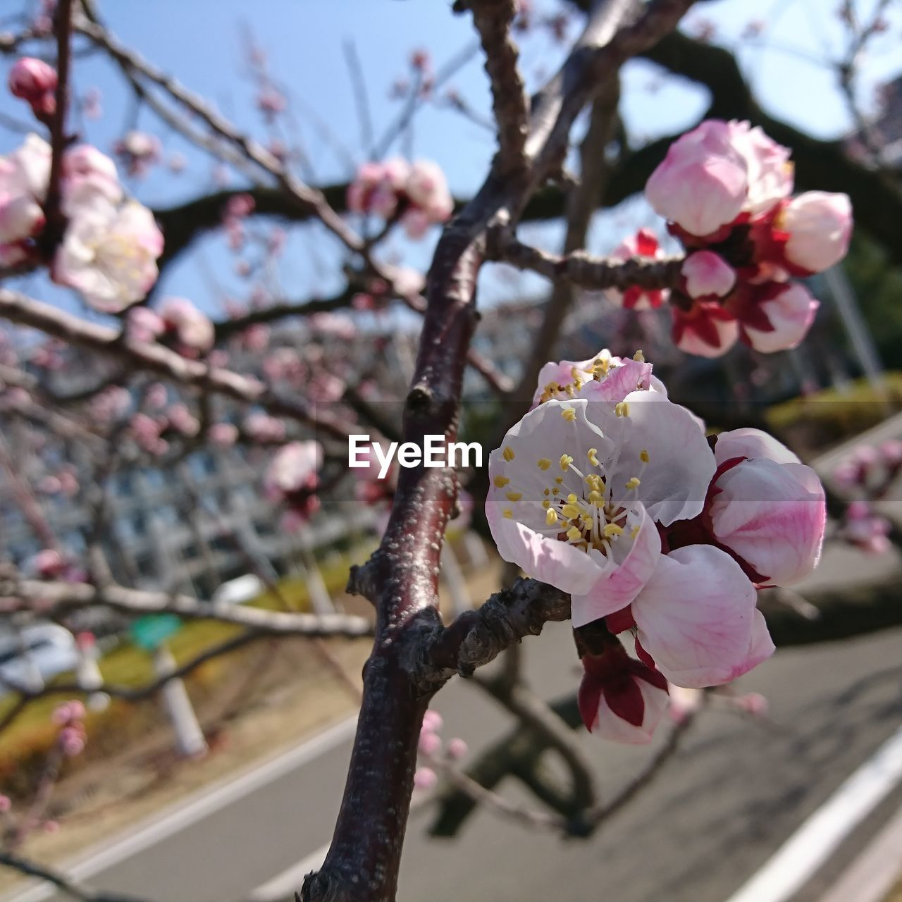 flowering plant, flower, plant, beauty in nature, freshness, fragility, vulnerability, growth, springtime, petal, blossom, tree, branch, pink color, focus on foreground, cherry blossom, close-up, inflorescence, nature, flower head, pollen, cherry tree, no people, outdoors, plum blossom, spring