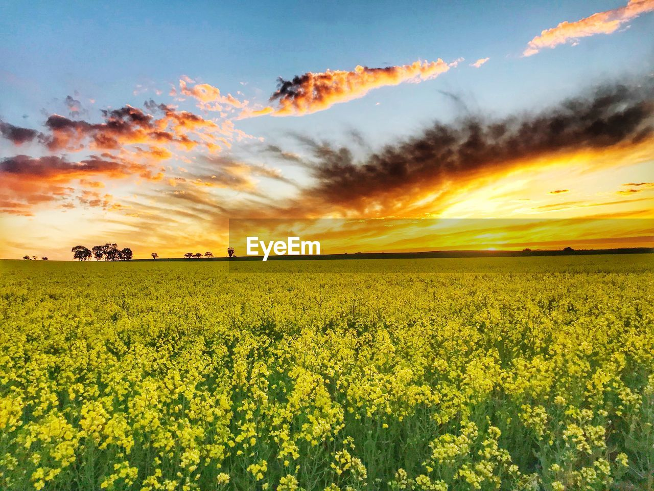 beauty in nature, yellow, scenics - nature, field, sky, land, sunset, flower, landscape, tranquil scene, agriculture, flowering plant, cloud - sky, environment, rural scene, plant, growth, tranquility, oilseed rape, idyllic, farm, no people, springtime, outdoors