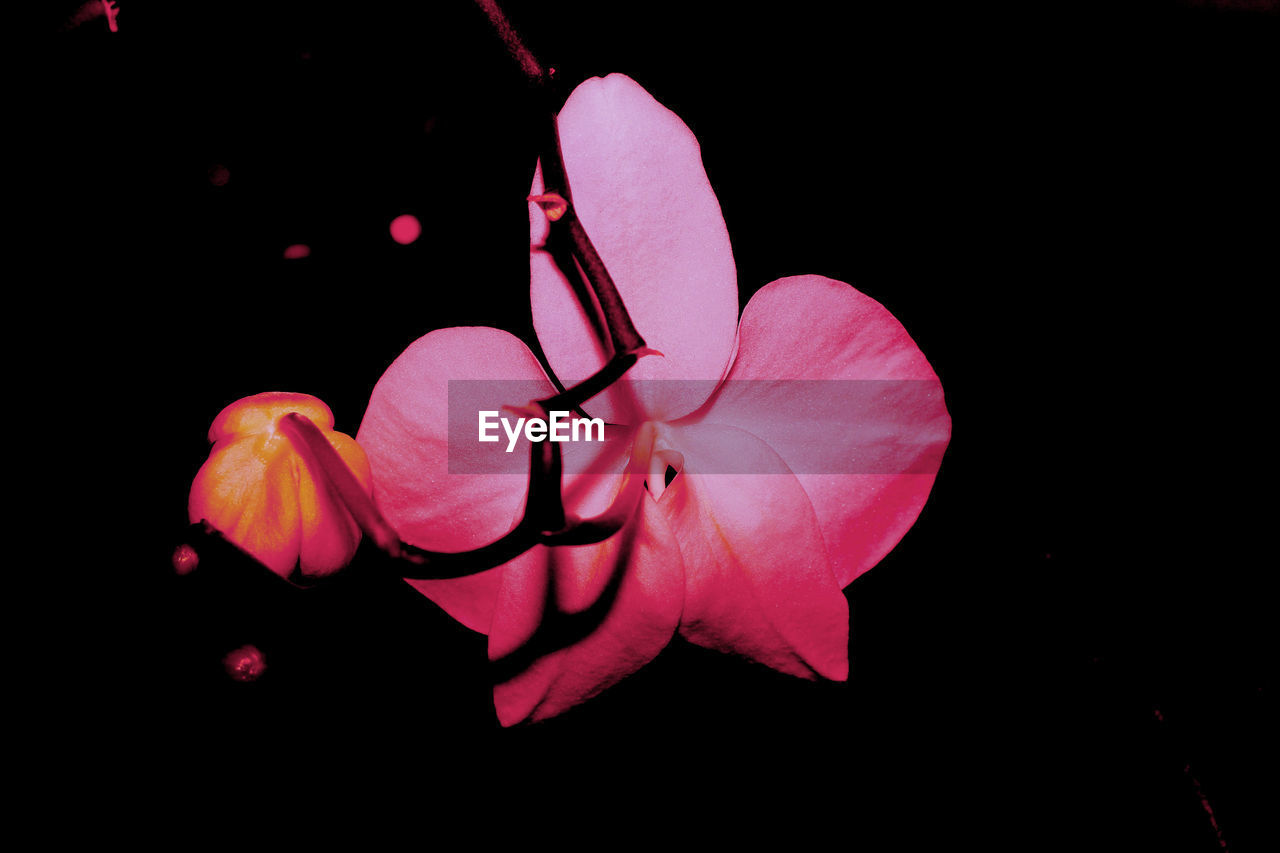 flower, petal, flower head, night, close-up, black background, beauty in nature, no people, studio shot, fragility, freshness, nature, pink color, outdoors