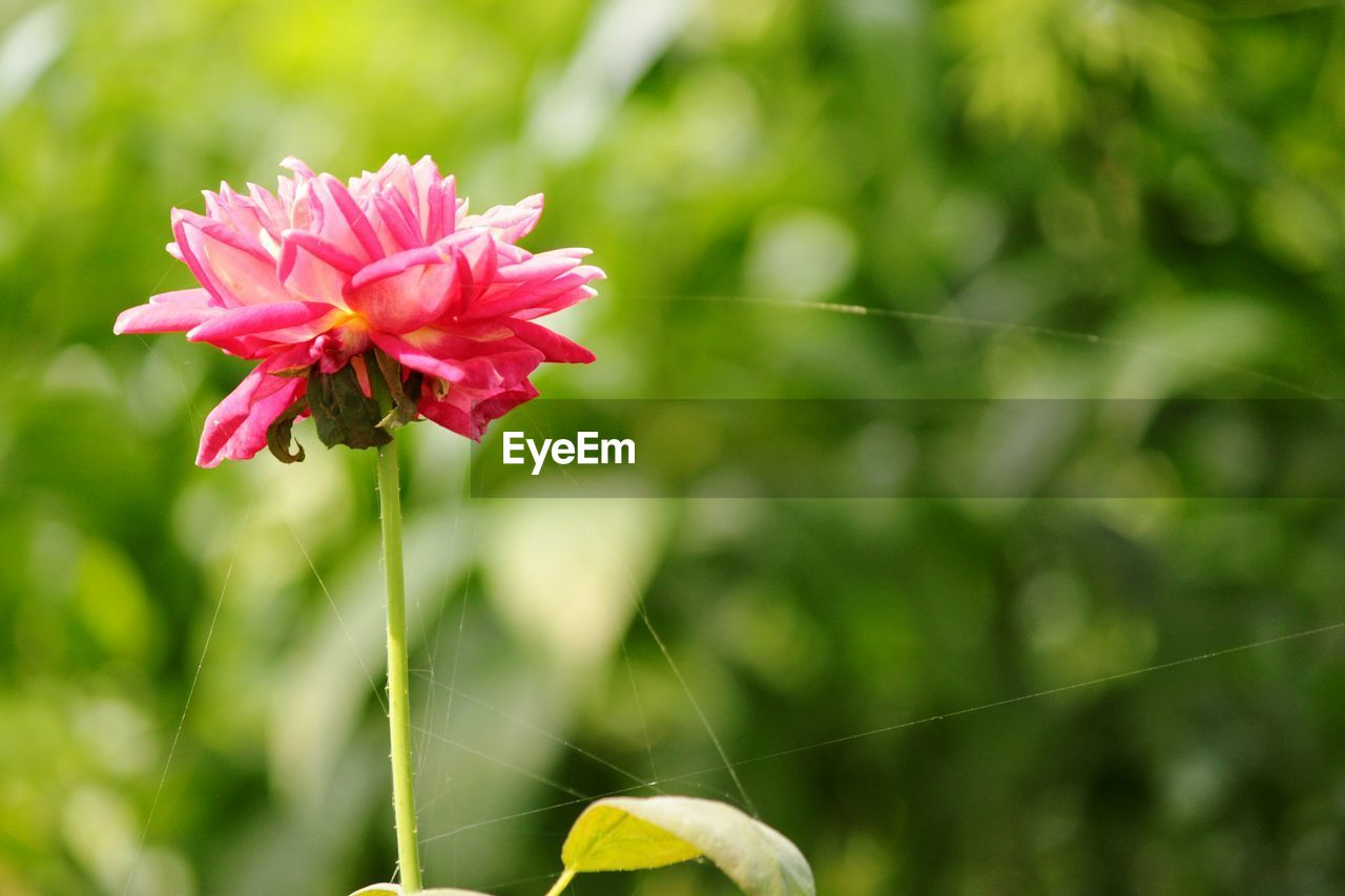 flower, fragility, beauty in nature, nature, growth, petal, freshness, plant, focus on foreground, blooming, flower head, day, close-up, outdoors, red, no people, pink color