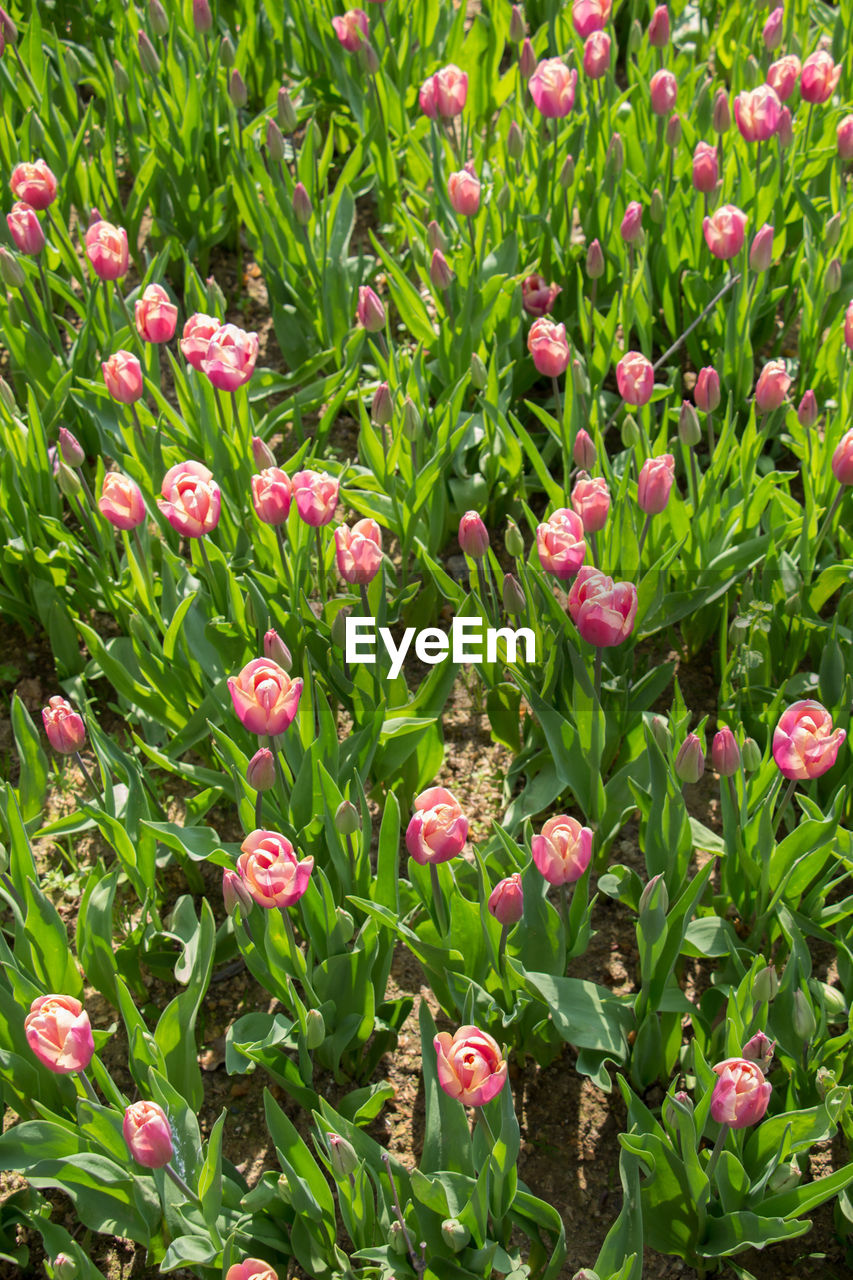 growth, green color, nature, plant, flower, beauty in nature, freshness, field, no people, day, outdoors, leaf, full frame, pink color, fragility, blooming, flower head, close-up