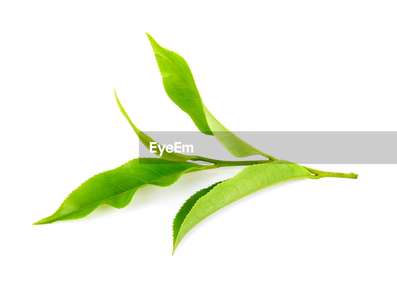 white background, green color, studio shot, plant part, leaf, freshness, close-up, food and drink, cut out, indoors, food, no people, plant, wellbeing, nature, still life, beauty in nature, vegetable, botany, healthy eating
