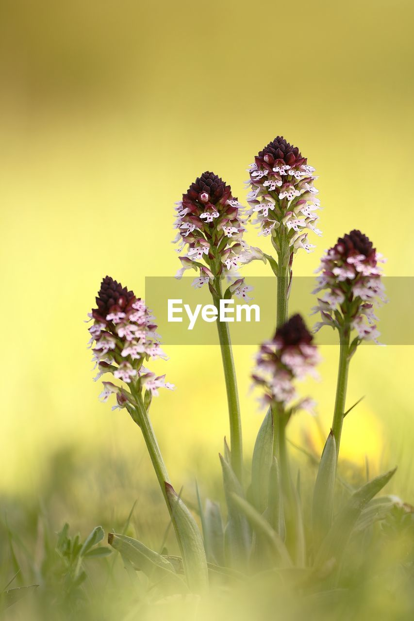plant, flowering plant, flower, growth, fragility, freshness, vulnerability, beauty in nature, selective focus, close-up, nature, no people, flower head, yellow, petal, inflorescence, field, day, focus on foreground, plant stem, outdoors, purple