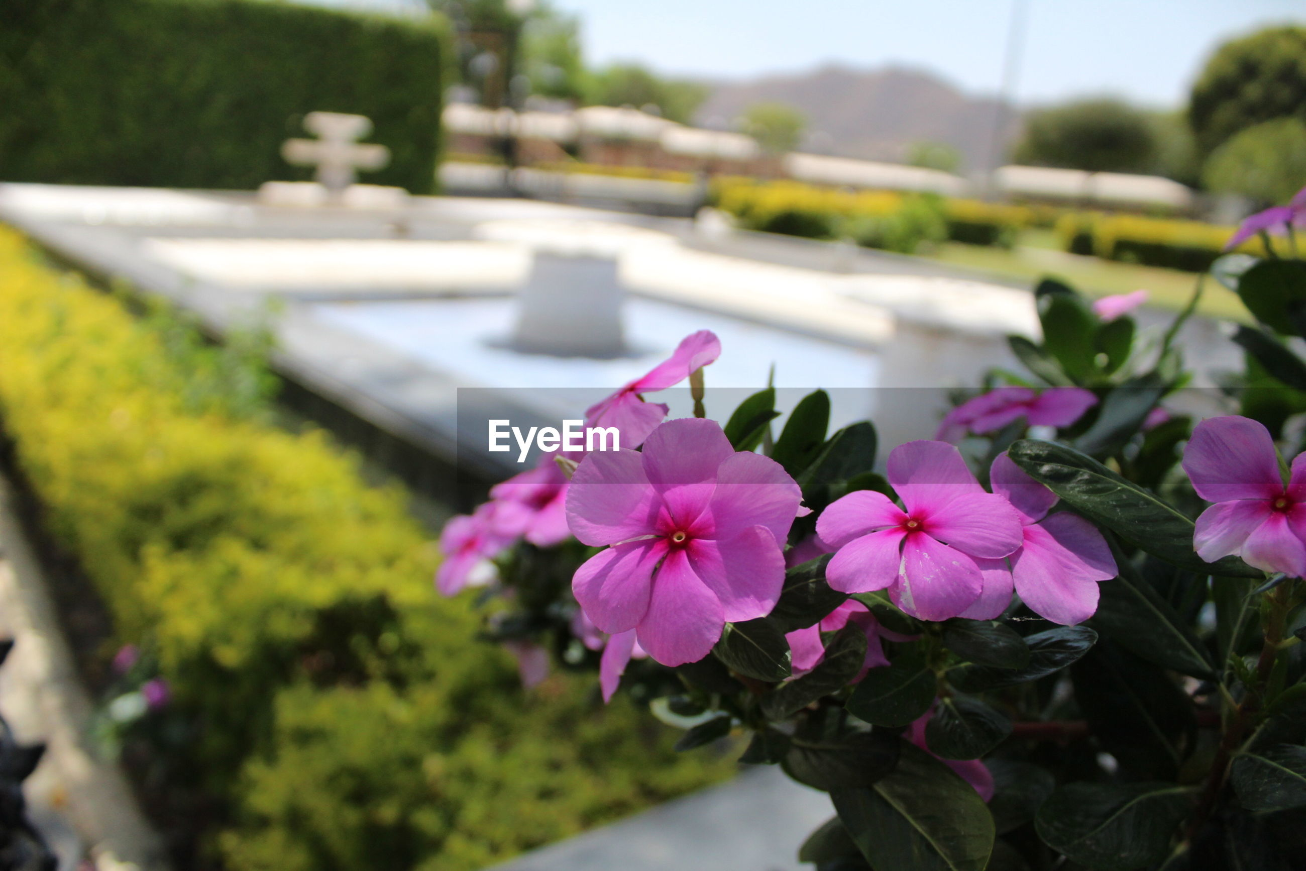 flower, petal, beauty in nature, fragility, nature, pink color, freshness, plant, growth, flower head, focus on foreground, no people, outdoors, day, blooming, close-up, periwinkle
