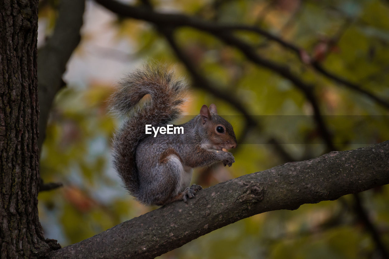 tree, animal wildlife, animal themes, animal, animals in the wild, mammal, one animal, rodent, focus on foreground, plant, branch, squirrel, vertebrate, nature, no people, day, outdoors, tree trunk, trunk, looking