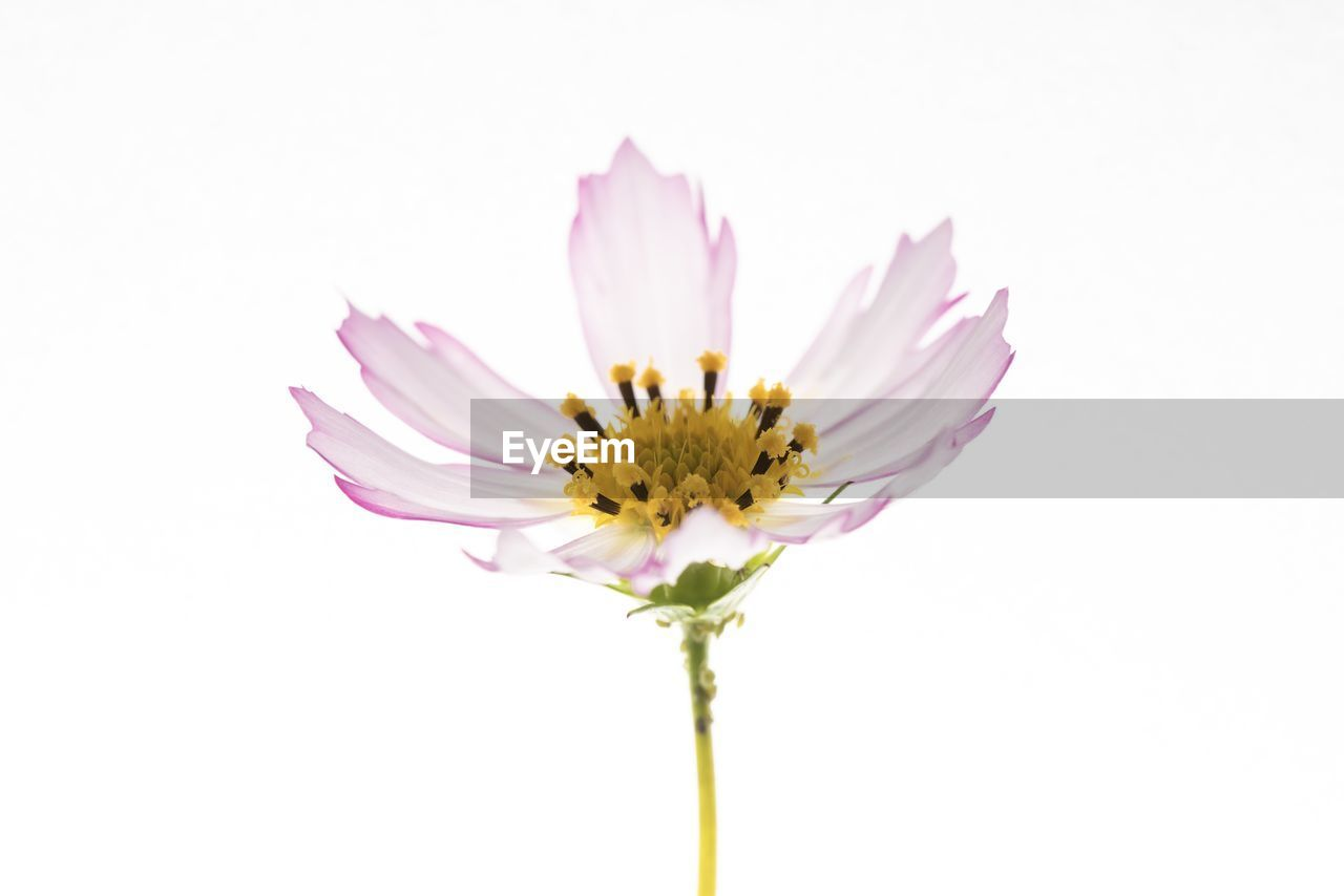 flower, flowering plant, vulnerability, fragility, studio shot, freshness, petal, flower head, plant, white background, beauty in nature, close-up, inflorescence, yellow, growth, copy space, no people, indoors, nature, pollen, pink color, purple, sepal
