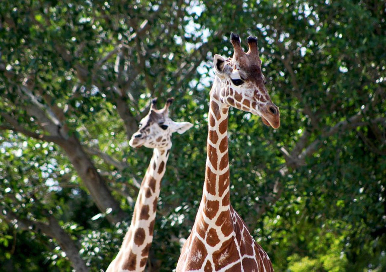giraffe, animal, animal themes, tree, animals in the wild, animal wildlife, mammal, animal neck, no people, group of animals, nature, plant, two animals, safari, day, animal body part, focus on foreground, portrait, animal head, outdoors, animal family, herbivorous