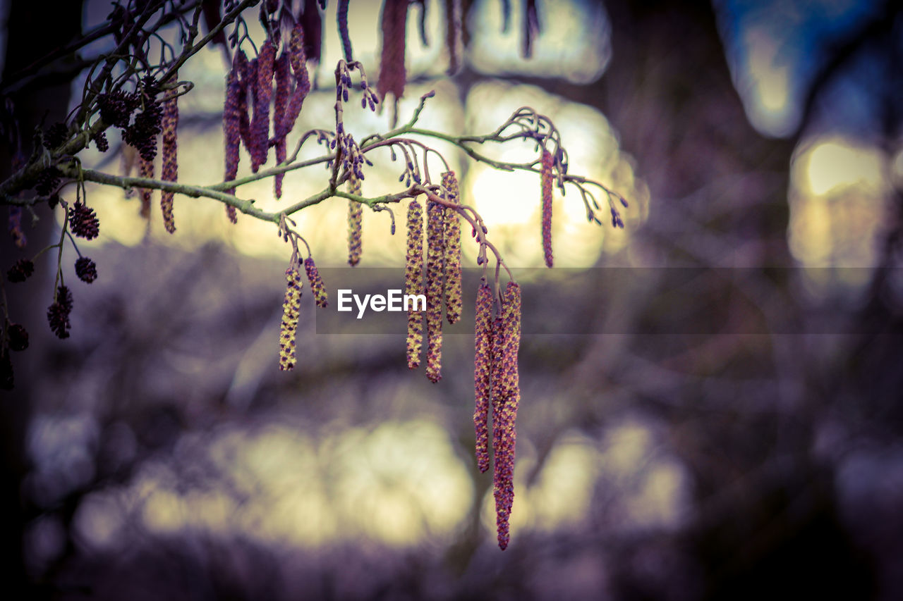 plant, close-up, no people, beauty in nature, nature, growth, tree, pussy willow, focus on foreground, day, hanging, selective focus, outdoors, tranquility, branch, flower, fragility, vulnerability, flowering plant, cold temperature